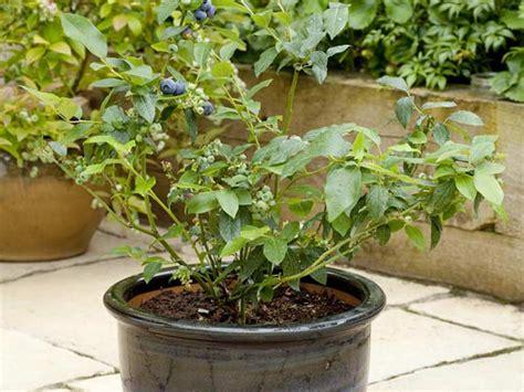 blueberry bush in pot growing blueberries in pots saga