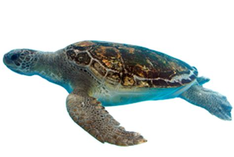 Turtle Png Transparent Turtlepng Images  Pluspng