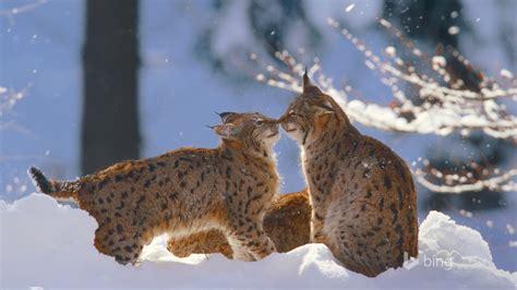 juego de nieve fondo de pantalla de wildcats bing avance