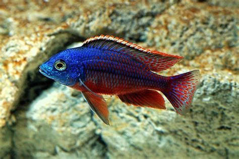 freshwater aquarium fish cool freshwater fish for aquariums aquarium design ideas