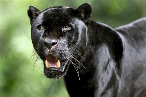 Black Animal Wallpaper - black panther hd wallpaper background image 3600x2400