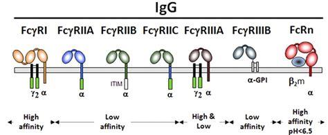 Human IgG receptors: (Pierre Bruhns Blood 2012;119:5640 ...
