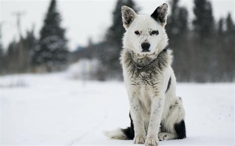 壁紙、イヌ、シェパード犬、雪、動物、ダウンロード、写真