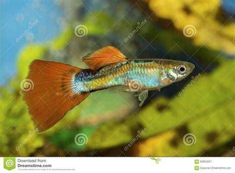 poisson dans un aquarium poissons de guppy dans un aquarium image stock image 63853007