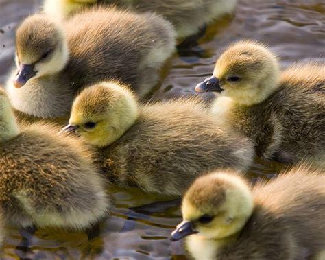 Nature, Animals, Birds, Duck, Baby Animals Wallpapers Hd