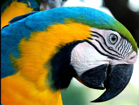 Meu Mato Grosso  Paraíso Natural! Arara Amarela