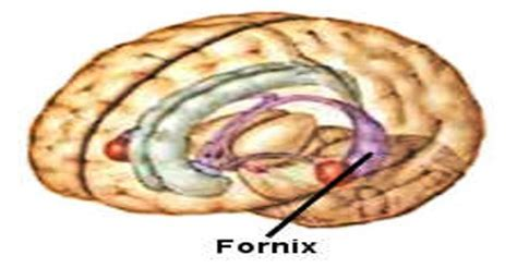 fornix assignment point