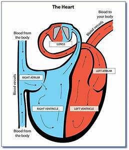Simple Heart Diagram Labeled 10 - Clipart Best