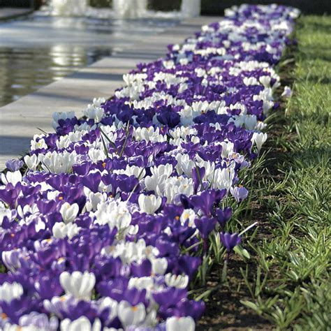 Tips Planting Fall Bulbs by Tips For Bulb Planting This Fall Official Of Park Seed