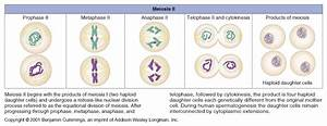 Meiosis 1 And 2 Diagram