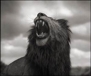 Nick Brandt - Lion Roar, Maasai Mara, Photograph: at 1stdibs