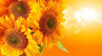 Flower Wallpapers Flowers Sunflower Backgrounds Background Sunflowers