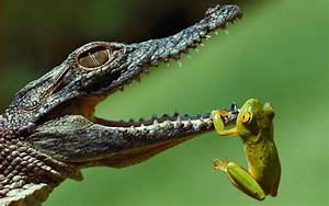 Hanging frogs crocodiles jaws reptiles amphibians ...