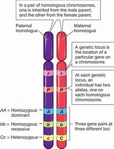 Genetics - What Are Homologous Chromosomes