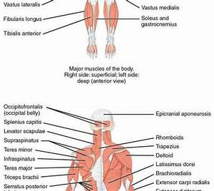 Classifications Of Bones According To Shape Locate And