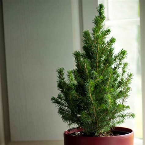 buy tabletop living green christmas tree and red pot
