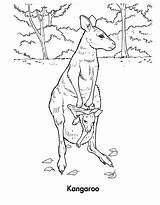 Kangaroo Coloring Pages Wallaby Habitat Printable Template Sheet Animal Sketch sketch template