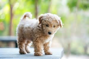 Small Dogs That Look Like Teddy Bears