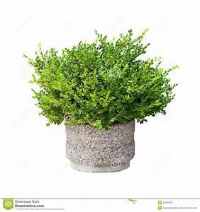 Small Green Decorative Bush Isolated Stock Photo - Image
