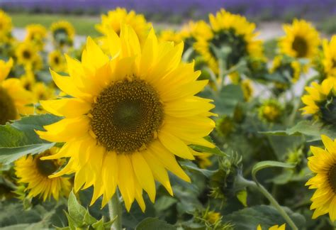 yun  stock     sunflower field japan