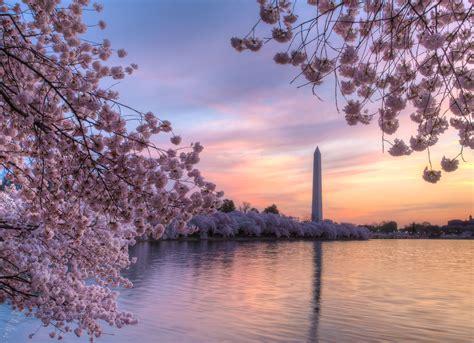 cherry blossom festival washington dc blossoms