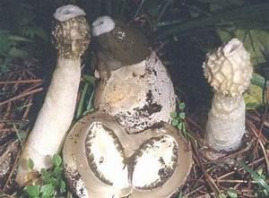 Настойка из гриба веселка от псориаза