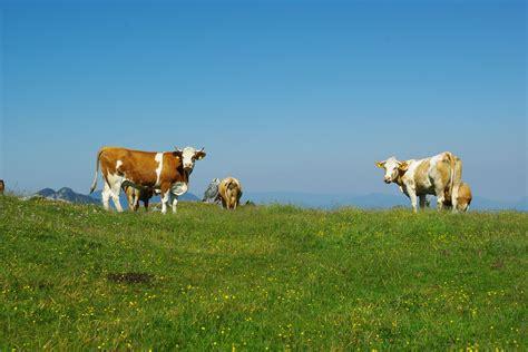 Vzrejajo krave, ki manj rigajo | Gore-ljudje