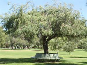 file bench a peppermint tree in manners hill park peppermint grove western australia