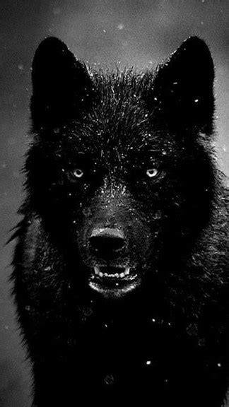 wolf iphone wallpaper black wolf iphone 6 wallpaper
