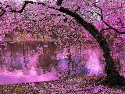 Pink Japan Cherry Spring Trees Water Blossoms