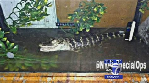 Snakes, Alligator Recovered In Brooklyn Apartment; 1 Under Arrest Apartment Laundry Room Ideas Lenox Terrace Apartments Harlem In Law Compton California Tiny Floor Plans Byron Bay Beach Hunziker Ames Iowa Sunshine Baytown Tx