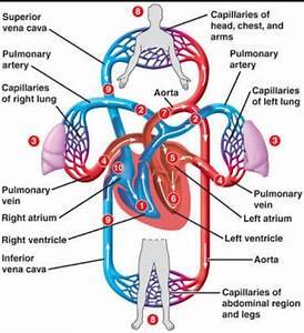 Which Heart Chamber Pumps Blood To The Lungs