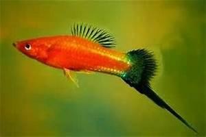 73 best images about Swordtails Aquarium Fish on Pinterest ...