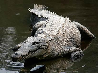 Wikipedia Crocodile American Crocodylus Mexico
