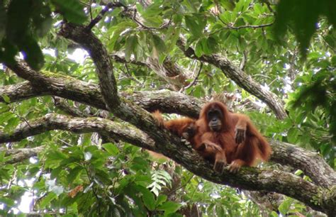 How Orangutan Engineers Build Safe And Comfortable Treetop