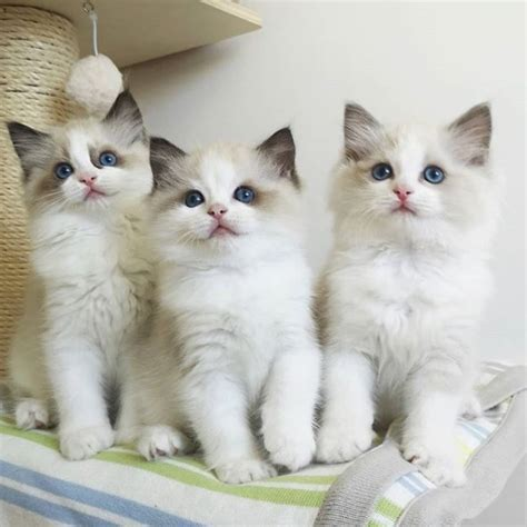 cats ragdoll reasons pets dogs better than why petpress source