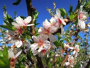 Welche Bäume Blühen Jetzt : se mantiene la presi n a la baja en las cotizaciones de las almendras ~ Buech-reservation.com Haus und Dekorationen