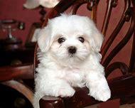 White Maltese Puppy Dogs