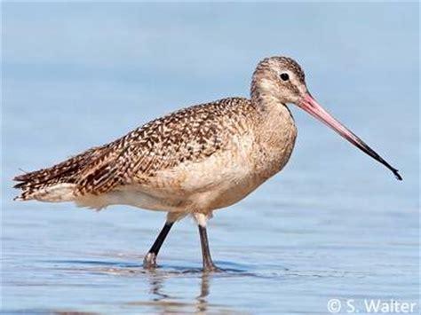 large shorebirds