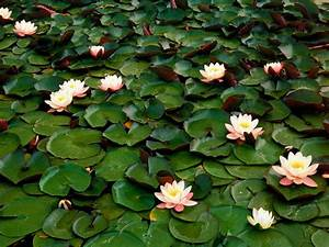 Water Lilies  U2013 Free Wallpapers