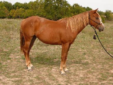 Flaxen Liver Chestnut Arabian Horse