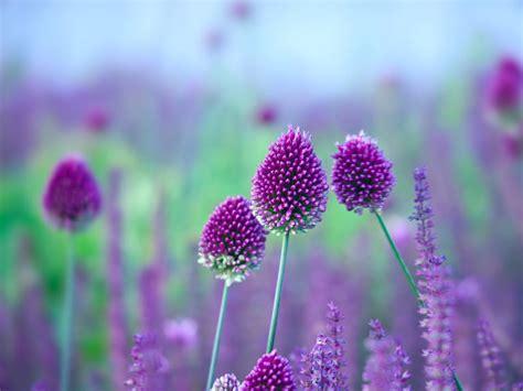 can you plant allium bulbs in how to grow alliums saga