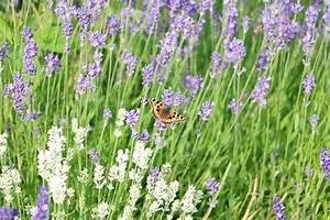 Pflanzen Gegen Wespen : lavendel pflanzen so gehts ~ Frokenaadalensverden.com Haus und Dekorationen