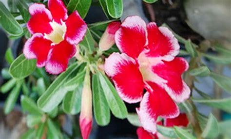 jenis jenis tanaman hias bikin kaya mendadak web id