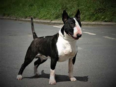 English Bull Terrier Dog Breed Facts Highlights Advice Petshomes