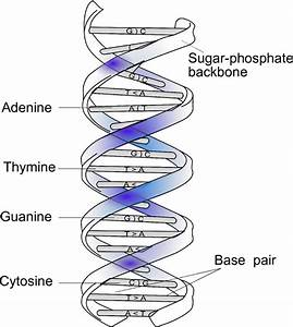 1  Double Helical Structure Of Dna And Complementary Base