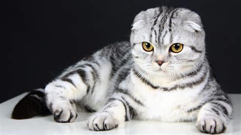 wallpaper scottish fold cat kitten eyes gray wool
