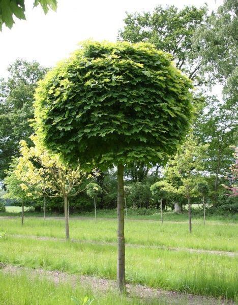 acer platanoides globosum клен остролистный глобозум acer platanoides globosum garden acer and gardens
