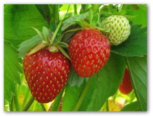 tips  growing strawberry plants