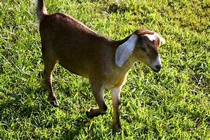 15 Famous Goat Breeds To Raise For Milk  Meat And Fleece